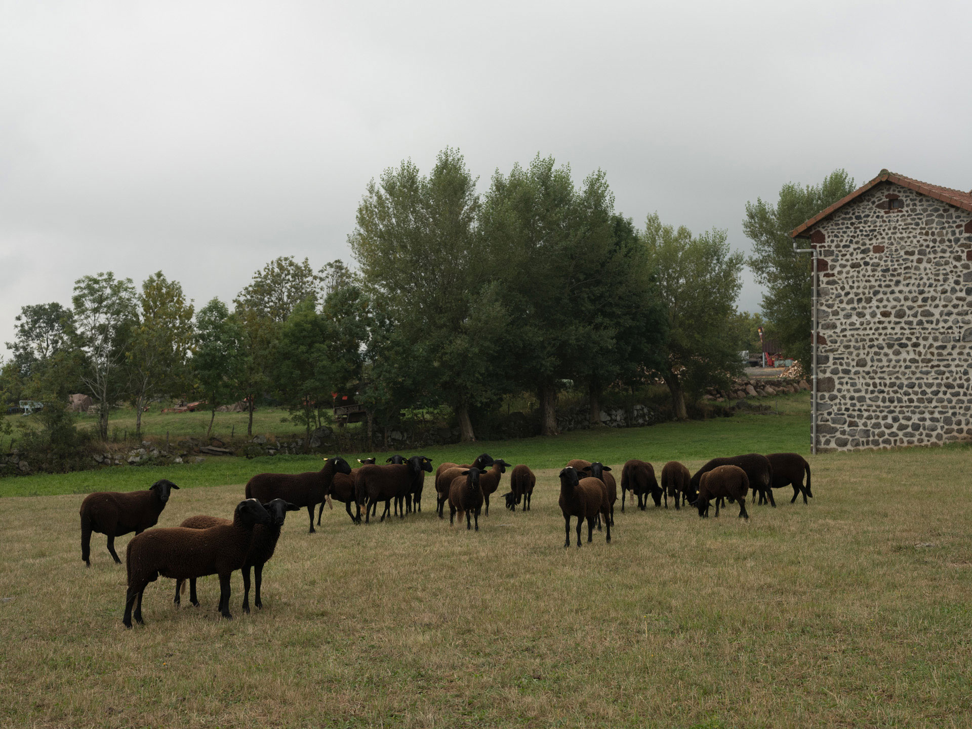 bunch of dark brown goats eating grass next to farm house by Alexi Hobbs in Auvergne for Reflets de France
